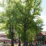 Baeume_Wilheminenschule
